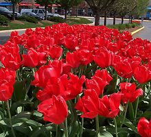 Red Tulips on Display by Eileen Brymer