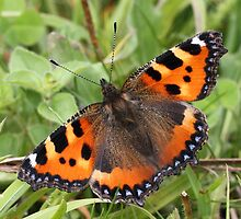 Small Tortoiseshell Butterfly by Neil Ludford
