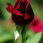 Young Rose by Derek McMorrine