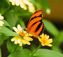 Banded orange butterfly by Thad Zajdowicz