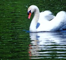 Swan reflections! by cherylc1