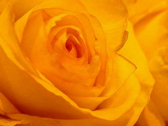 A Rose for Susan by Scott Mitchell