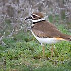 Killdeer by Kim Barton