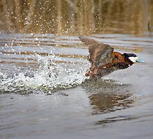 Ruddy Duck Takes Flight by Kim Barton
