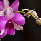 Orchid by franceshelen