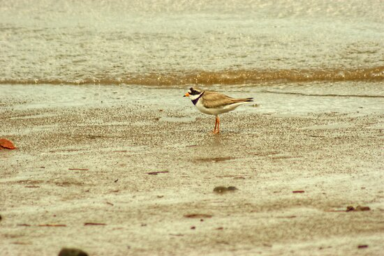 Ringed Plover by Jamie  Green