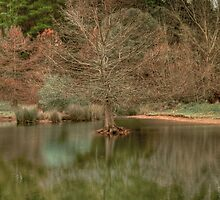 Swamp Cypress (Taxodium distichum) by Elaine Teague