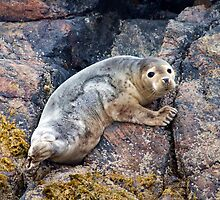 Young Seal by Cameron Prentice