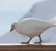 Snow Petrel On Deck by Rob Emery