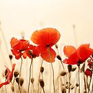 Poppies by lorrainem
