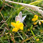 Animal, Insect, Butterfly, Adonis Blue, Lysandra bellargus, by Hugh McKean