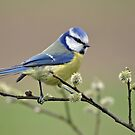 Blue tit on Pussy Willow by Margaret S Sweeny