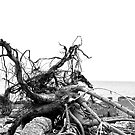 Rooted ~ Drift Roots by hmx23