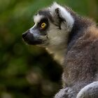 Portrait Of A Ring-tailed Lemur by Jeff Weymier