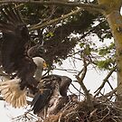Bald Eagle Family Feast by David Friederich