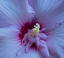 Purple Rose Of Sharon by Sherry Hallemeier