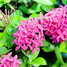 Florida Ixora Bloom Bunches by Glenn Cecero