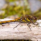 Common Darter dragonfly female by Hugh McKean