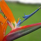 Bird of Paradise by emxacloud