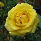 Decked with Diamonds - Pretty Yellow Minirose by BlueMoonRose