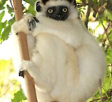 Winsome Verreaux's Sifaka by Gina Ruttle  (Whalegeek)