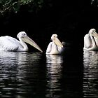 Three Pelicans by Jon Laysell