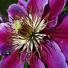 *Clematis* by DeeZ (D L Honeycutt)