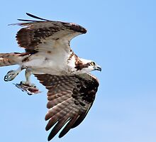 Osprey with dinner by pandapix