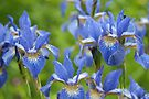 Into a blue iris dream... by steppeland