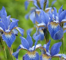 Into a blue iris dream... by steppeland