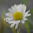 Daisy by Doug Cargill