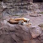 Tigers-Busch Gardens Florida by lissie27