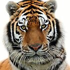 Tiger on White by Mark Hughes