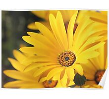 Geel Namakwaland madeliefie - African Daisy Poster