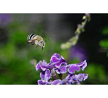 The Blue Banded Bumble Bee Photographic Print