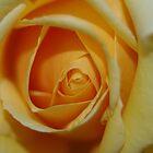 Yellow rose by Linda Fury