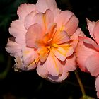 Pink Begonia Flower  by Carole-Anne