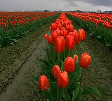 Tulips 1 by Bassbro