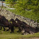 The Greenholme Herd by Fleur Hallam