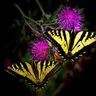 Stick Together (Swallowtail Butterflies) by Charles & Patricia   Harkins ~ Picture Oregon