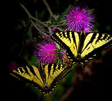 Stick Together ~Swallowtail Butterflies ~ by Charles & Patricia   Harkins ~ Picture Oregon
