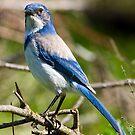 Bluebird by Randall Ingalls