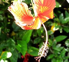 Hanging Hibiscus Flower by Glenn Cecero