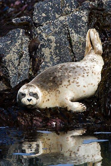 Reflected Harbor Seal by Randall Ingalls