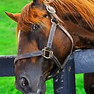 Retired Kentucky Thoroughbred by Julie Everhart