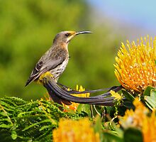 Cape Sugarbird by ajay2011