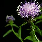 Cornflower Magic by DonDavisUK