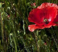 Morning Poppy by Svetlana Sewell