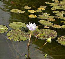 Sunken Gardens Lily by Christopher Hanke