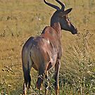 Tsessebe by jozi1